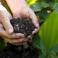 Closeup image of old woman with handful of soil in garden